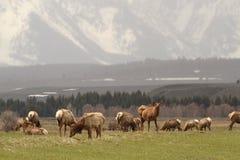 De kudde van elanden Stock Foto
