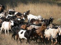 De kudde van geiten Stock Fotografie