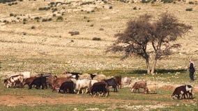 De kudde van Geiten eet het Gras onder de Eenzame Boom stock videobeelden
