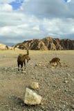 De kudde van geiten is geweid in bergen Royalty-vrije Stock Fotografie