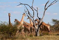 De kudde van giraffen Stock Foto