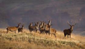 De kudde van herten Royalty-vrije Stock Afbeeldingen