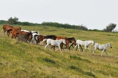 De Kudde van het paard op Heuvel Royalty-vrije Stock Afbeeldingen