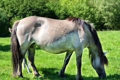 De kudde van het Tarpanewild paard in Neandertal Stock Foto
