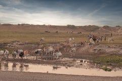De kudde van het vee Stock Afbeeldingen