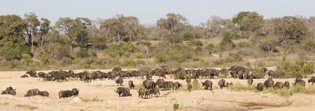 De kudde van kaapbuffels in panoramisch schot stock afbeelding