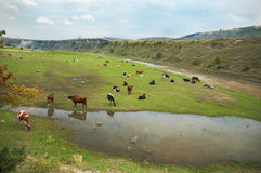 De kudde van koeien stock fotografie