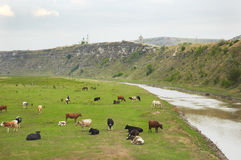 De kudde van koeien royalty-vrije stock fotografie