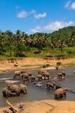 De kudde van olifanten Stock Afbeeldingen