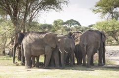 De kudde van olifanten in de Baobabs Schaduw Stock Afbeelding