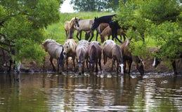De kudde van paarden drinkt royalty-vrije stock fotografie
