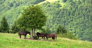 De kudde van paarden eet gras in de weide stock video