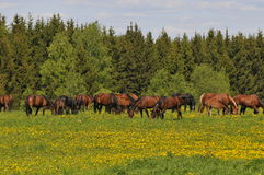 De kudde van paarden op een weide is geweid Royalty-vrije Stock Foto