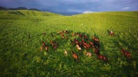 De kudde van paarden weidt in de uitlopers van Alma Ata stock videobeelden