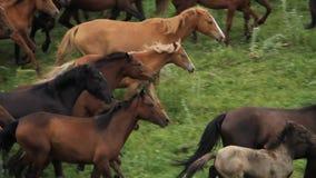 De kudde van paarden weidt in de uitlopers van Alma Ata stock video