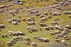 De Kudde van schapen Stock Foto