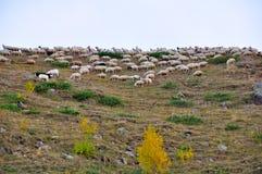 De Kudde van schapen Royalty-vrije Stock Afbeelding