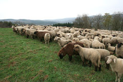 De Kudde van schapen royalty-vrije stock afbeeldingen