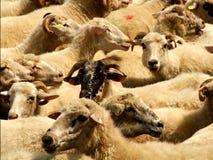 De kudde van schapen Royalty-vrije Stock Foto's