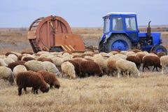 De kudde van schapen met tractor Stock Afbeelding