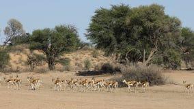 De kudde van de springbokantilope - de woestijn van Kalahari stock videobeelden