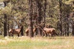 De Kudde van stierenelanden in Fluweel Royalty-vrije Stock Afbeeldingen