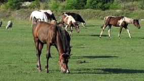 De kudde van witte en bruine paarden weidt gras op een gazon in slo-mo stock video