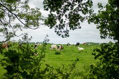 de kudde van zwart-witte koeientribunes op een groene weide en de hemel is donker stock foto