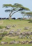 De kudden van de Migratie in het Ndutu gebied, Tanzania Royalty-vrije Stock Afbeelding