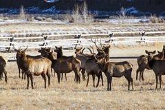 De kudden van elanden het bewegen zich Stock Foto's