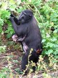 De kuif zwarte macaque en baby van Celebes Stock Foto