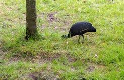 De kuifpucheranivogel die van parelhoenguttera voedsel zoeken De vogel heeft zwartachtig gevederte met dichte witte vlekken en is stock foto's