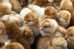 De kuikens van de baby Stock Afbeeldingen