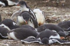 De kuikens van de Gentoopinguïn - Falkland Islands Stock Fotografie