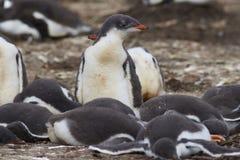 De kuikens van de Gentoopinguïn - Falkland Islands Royalty-vrije Stock Foto's
