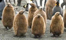 De Kuikens van de Pinguïn van de koning - St. Andrews, Zuid-Georgië Stock Foto