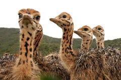 De Kuikens van de struisvogel Stock Fotografie
