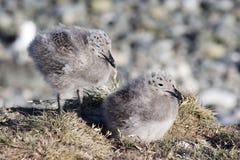 De kuikens van de zeemeeuw Stock Fotografie