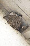 De kuikens van huismartin Stock Afbeelding