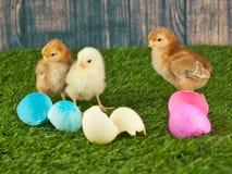 De kuikens van Pasen in het gras dat op wit wordt geïsoleerdn stock afbeeldingen