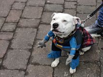 De kuil bull terrier van het Staffordgraafschap kleedde zich als superhero royalty-vrije stock afbeeldingen