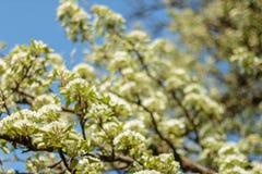 De kunstontwerp van de de lentebloesem Boomgaardscène Tot bloei komende boom met zonnestralen Mooie groene aardachtergrond Stock Foto's