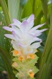 De Kurkuma van de bloem Stock Afbeelding