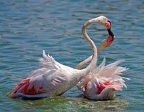 De kus van de flamingo Stock Foto