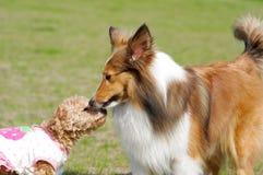 De kus van honden royalty-vrije stock afbeeldingen
