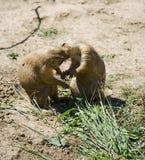 De kus van prairiehonden Royalty-vrije Stock Afbeeldingen