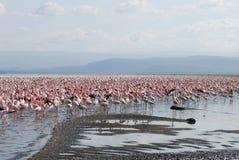 De Kust van de flamingo royalty-vrije stock afbeeldingen