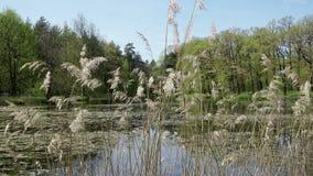 De kust van het bosmeer met riet in de voorgrond in de zomer zonnige dag stock video