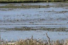 De kustvogels at low tide groeperen dan vlucht stock footage