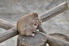 De kvinnliga japanska macaquesjuksköterskorna behandla som ett barn Royaltyfri Fotografi
